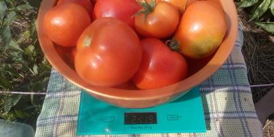 Второй сбор помидоров Любаша F1. Открытый грунт