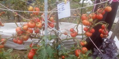 Третий и заключительный сбор помидоров Любаша F1. Открытый грунт
