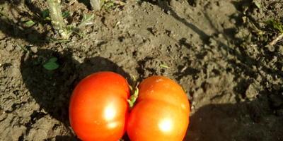 Ни шагу назад, ни шагу на месте, а только вперед с томатами вместе!