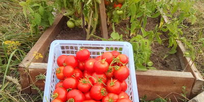 """Ни шагу назад, ни шагу на месте, а только вперед с помидорами от АФ """"Партнер"""" вместе"""