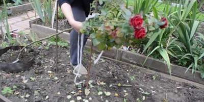 Как подготовить к зиме и укрыть штамбовую розу