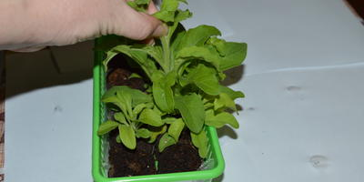 Петуния Комплиментуния голубая F1. IV этап. Развитие растений и уход за ними