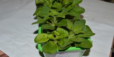Петуния Мария F1. IV этап. Развитие растений и уход за ними