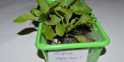 Петуния Марко Поло красная F1. IV этап. Развитие растений и уход за ними