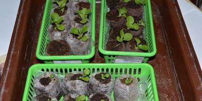 Петуния Джолли красная F1. IV этап. Развитие растений и уход за ними
