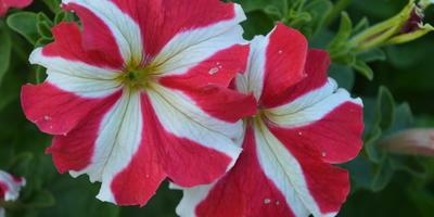 Комплиментуния красно-белая F1 крупноцветковая. Аналитический отчет