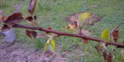 Как поступить с яблонями?