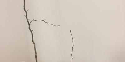 Есть ли шанс реанимировать лимонные деревца?