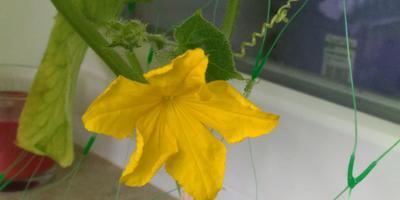 Почему у огурца, выращиваемого на балконе, желтеют и засыхают листья? Как лечить?