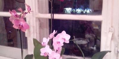 Маленький секрет, или Как реанимировать орхидеи