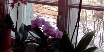 Как я реанимировала орхидеи