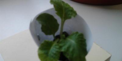 Что сейчас лучше сделать с саженцами садовой махровой примулы — посадить в саду или оставить дома до весны?