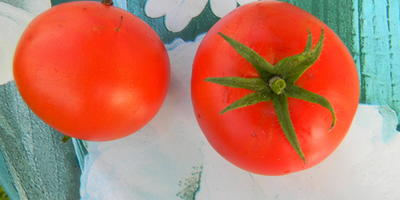 Джина - самый ранний томат