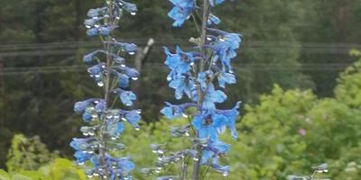 Что за цветы растут у меня на огороде?