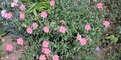 Подскажите, пожалуйста, что это за садовое растение?