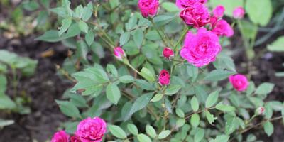 Подскажите, пожалуйста, сорт миниатюрной розы