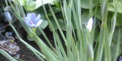 Подскажите, как называется это садовое многолетнее растение?