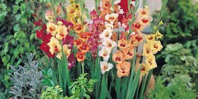Планирую посадить гладиолусы в вазон или шину. Не будет ли им тесно?