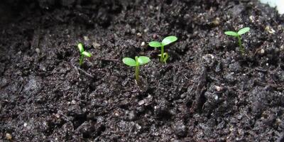 """""""Что-то пошло не так"""", или """"Мой неудачный опыт выращивания голубики из семян"""""""