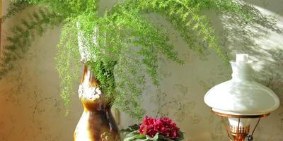 Комнатные аспарагусы - легкость, грация и изящество