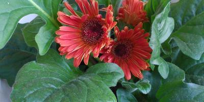 Как ухаживать за герберой? Почему слабые цветки?