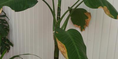 Что за цветок? И почему начали листья желтеть?