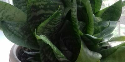 Подскажите название комнатного растения. Как за ним ухаживать?