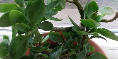 Нужна помощь в определении названия комнатного растения