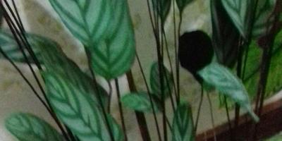 Подскажите название растения и особенности ухода в домашних условиях