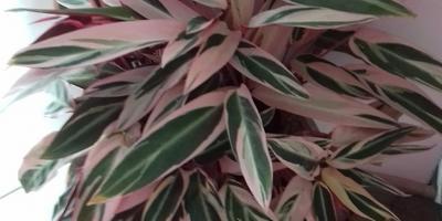 Неизвестное комнатное растение. Помогите определить, что это?