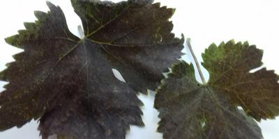 Стоит ли беспокоиться за состояние молодого виноградника?