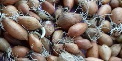 Можно ли сажать проросший лук-севок сорта Центурион под зиму?