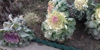 Помогите определить сорт декоративной капусты