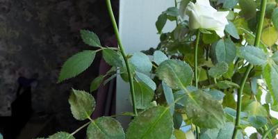 Желтеют и засыхают листья у розы, выращиваемой дома. Что делать?