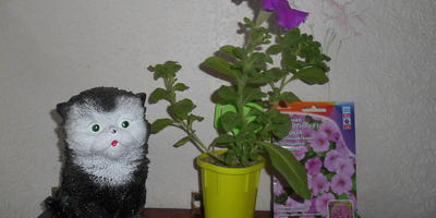 Петуния Марко Поло F1 лиловая. IV этап. Развитие растений и уход за ними. Первые цветы