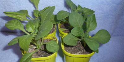Петуния Анастасия F1. IV этап. Развитие растений и уход за ними. Первые цветы