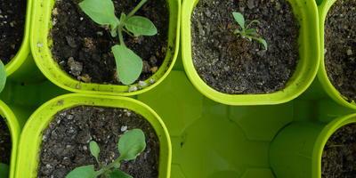 Петуния Марко Поло F1 красная. IV этап. Развитие растений и уход за ними. Первые цветы