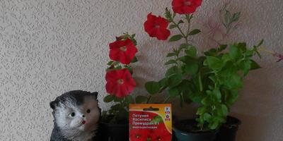 Петуния Василиса Премудрая F1. IV этап. Развитие растений и уход за ними. Первые цветы