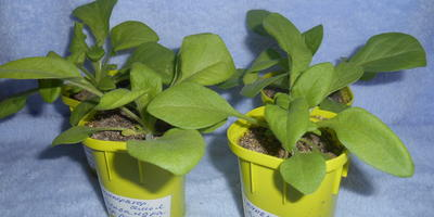 Петуния Александра F1. IV этап. Развитие растений и уход за ними. Первые цветы