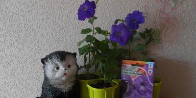Петуния Синеглазка F1. 4 этап. Развитие растений и уход за ними. Первые цветы