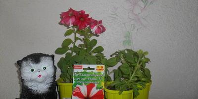 Комплиментуния красно-белая F1. IV этап. Развитие растений и уход за ними. Первые цветы