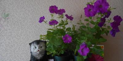 Комплиментуния лиловая F1. IV этап. Развитие растений и уход за ними. Первые цветы