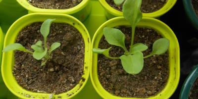 Комплиментуния винно-красная F1. IV этап. Развитие растений и уход за ними. Первые цветы
