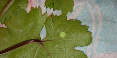 Помогите определить, что это такое на листьях винограда и как с этим бороться?