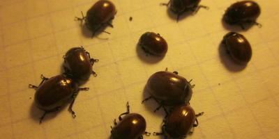Полезны ли эти жуки?
