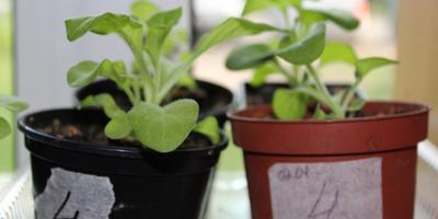 Петуния Марко Поло F1 лимонно-синяя. IV этап. Развитие растений и уход за ними