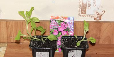 Петуния Марко Поло F1 розовая. IV этап. Развитие растений и уход за ними