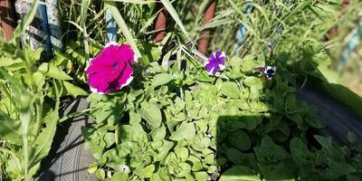Петуния Анастасия F1 крупноцветковая. VI этап. Цветение