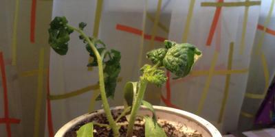 На комнатных растениях и рассаде томатов листья деформируются. Что это? Как с этим бороться?