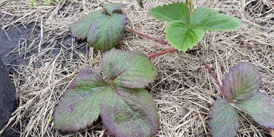 Что с клубникой? Почему у нее листья становятся фиолетовыми?